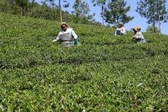 Die Teeplantage in Indien Lizenzfreies Stockfoto