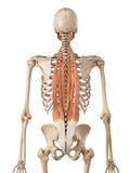Die tiefe Rückenmuskulatur lizenzfreie abbildung