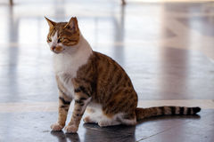 Die Tierhaustier-Katze Stockbild