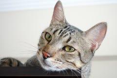 Die Tierhaustier-Katze Lizenzfreie Stockbilder