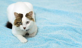 Die Tierhaustier-Katze Lizenzfreie Stockfotos