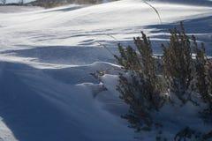 Die Tipps einer Beifußanlage tauchen vom windblown Schnee auf Lizenzfreies Stockbild