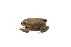 Die toad Royalty Free Stock Photo