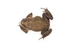 Die toad Stock Photo