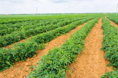 Die Tomatenplantage Lizenzfreie Stockfotografie