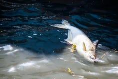 Die toten großen faulen Fische, die in Kanal schwimmen, wässern, die Verschmutzung von Gewässern Lizenzfreie Stockfotos