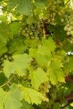 Die Trauben Blätter und Gewitter lizenzfreies stockbild