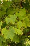Die Trauben Blätter und Gewitter stockbilder
