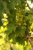 Die Trauben Blätter und Gewitter stockfotos