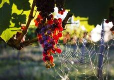 Die Trauben im Weinberg lizenzfreies stockbild