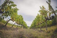 Die Traubenfelder in Toskana, Italien lizenzfreies stockfoto