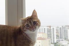 Die traumatische sarman Katze, welche die Kamera betrachtet lizenzfreies stockfoto