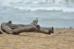 Die Tree in a beach. In Sri Lanka royalty free stock image