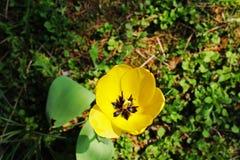 Die Tulpe stockfoto