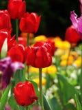 Die Tulpe Lizenzfreies Stockfoto