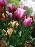 Die Tulpe Stockbild