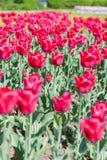 Die Tulpen Lizenzfreie Stockfotos
