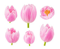 Die Tulpen knospt in den verschiedenen Kamerawinkeln lokalisiert auf weißem Hintergrund Stockbilder