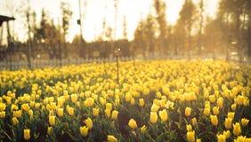 Die Tulpen in kunmingï ¼ ŒChina Stockfoto