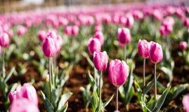 Die Tulpen in kunmingï ¼ ŒChina Lizenzfreie Stockbilder