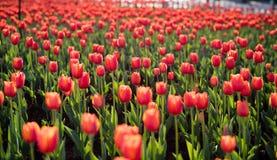 Die Tulpen in kunmingï ¼ ŒChina Stockbild