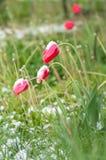 Die Tulpen unter dem Schnee stockbild