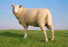 Die unbekannten Schafe Stockfotos