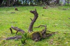 Die ungewöhnliche Wurzel eines alten Baums Lizenzfreie Stockbilder
