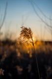 Die untergehende Sonne und die Niederlassungsbinse Stockbilder