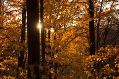 Die untergehende Sonne wirft seine Strahlen durch das gelb-orangee rote Laub des Herbstwaldes stockfotos