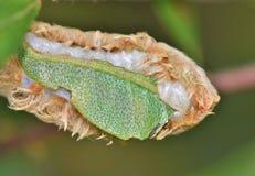 Die Unterseite einer Flanell-Motte lizenzfreie stockfotos