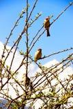 Die Vögel auf den Niederlassungen eines Busches auf einem Hintergrund des blauen Himmels und der Schnee-mit einer Kappe bedeckten Stockfotos