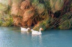 Die Vögel im Brunnen von Arethusa auf der Insel von Ortygia in Syrakus Stockbilder