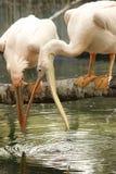 Die Vögel kämpfen für Wasser! Stockbild