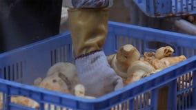 Die Verarbeitungsreinigung und so schnell halten matsutakes, wie möglich, nach ausgewählt von der Natur, luxuriöse Nahrungsmittel stockfotografie