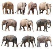 Die verschiedenen Lagen des asiatischen Elefanten auf weißem Hintergrund, Super-Reihe lizenzfreie stockfotografie