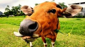 Die verspottende Kuh stockbild