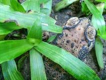 Die versteckende Kröte neben dem Rasen Stockbilder