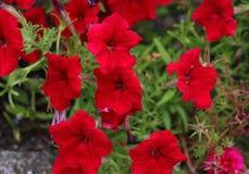 Die vibrierende rote Petunie stockbilder