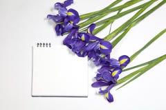 Die Violet Irises-xiphium Knolleniris, Iris sibirica auf weißem Hintergrund mit Raum für Text Draufsicht, flache Lage Lizenzfreie Stockfotos
