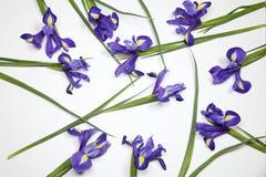 Die Violet Irises-xiphium Knolleniris, Iris sibirica auf weißem Hintergrund mit Raum für Text Draufsicht, flache Lage Stockfotos
