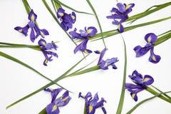 Die Violet Irises-xiphium Knolleniris, Iris sibirica auf weißem Hintergrund mit Raum für Text Draufsicht, flache Lage Stockbilder