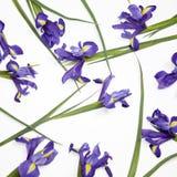 Die Violet Irises-xiphium Knolleniris, Iris sibirica auf weißem Hintergrund mit Raum für Text Draufsicht, flache Lage Lizenzfreie Stockfotografie
