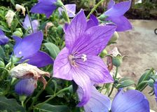Die violette Windenblume Stockbilder