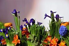 Die violetten Blumen von Knollenirisen xiphyceae Iris, sibirisch, Ranunculus gehören zu blauen Blumen des grünen Grases stockbilder