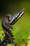 Die Viper bereitet sich für einen Wurf vor Lizenzfreies Stockbild