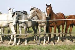 Die vollblütigen jungen Pferde, die an der Hürde stehen, Flugsteig zwei vollblütige junge Pferde, die am Hürdentor stehen Stockbilder
