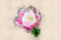 Die vollerblühte Tulpe im Mai Stockbild