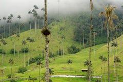 Die WachsPalmen von Cocora-Tal sind der nationale Baum, das Symbol von Kolumbien und die größte Palme World's lizenzfreie stockfotografie