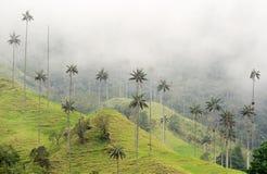 Die WachsPalmen von Cocora-Tal sind der nationale Baum, das Symbol von Kolumbien und die größte Palme World's stockbilder